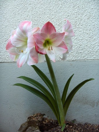 Amaryllis granit for Amaryllis gel